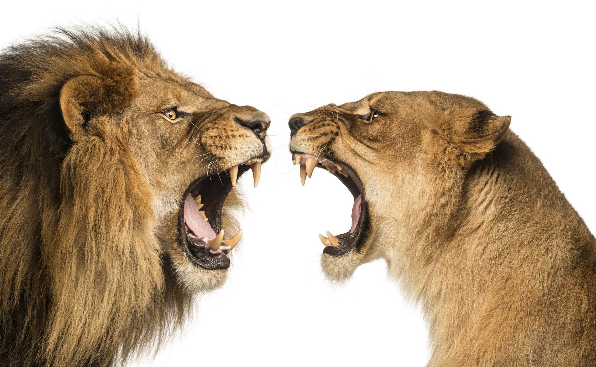 Ocho leones, dos linces, un puma y un coyote fueron trasladados a un santuario de más 290 hectáreas