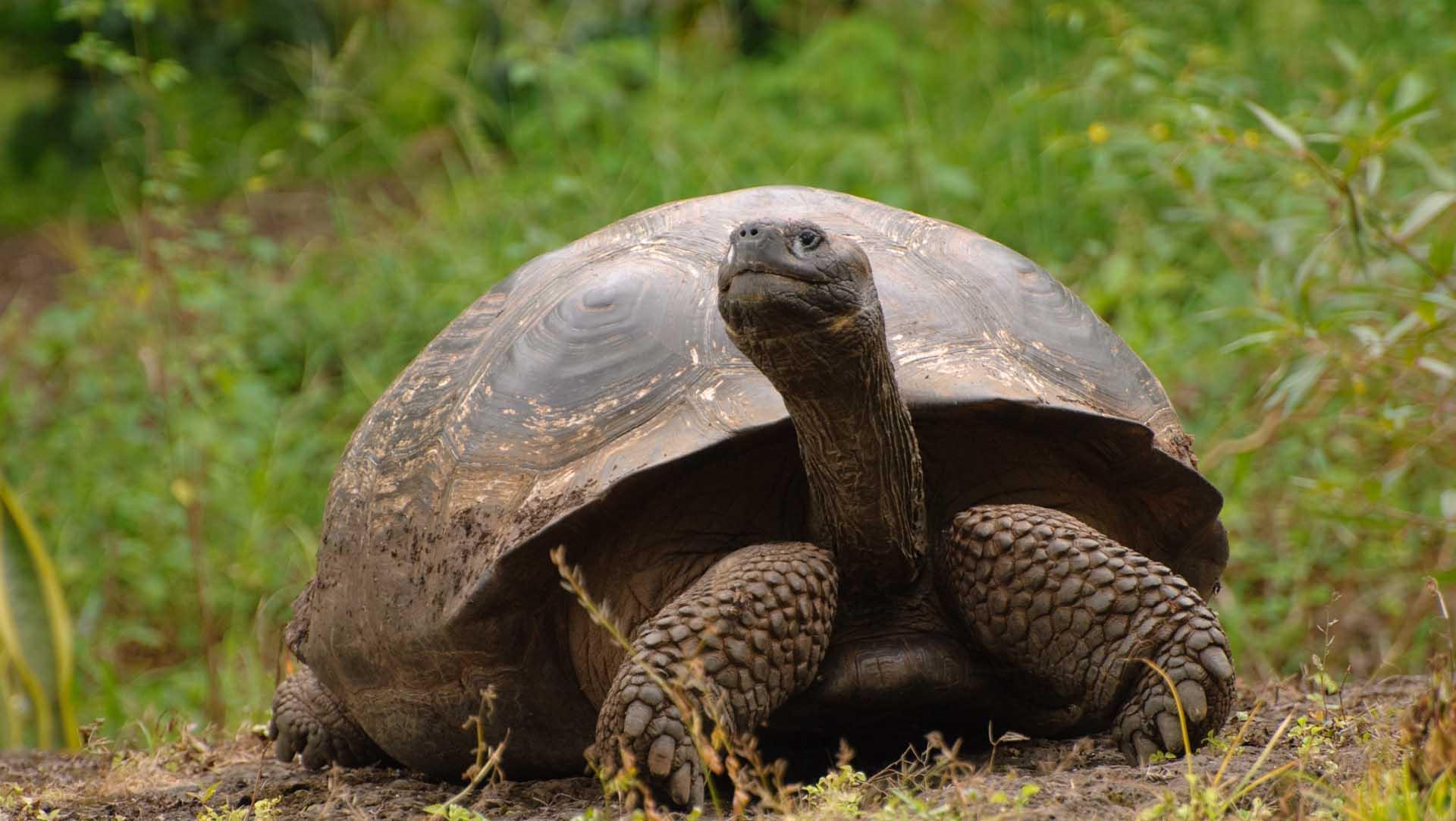 La especie identificada se suma a las dos que se creía eran las únicas gigantes endémicas de la isla Santa Cruz