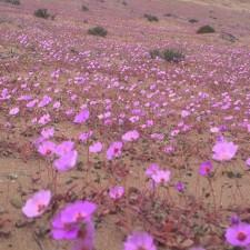 Alfombra de colores en Atacama