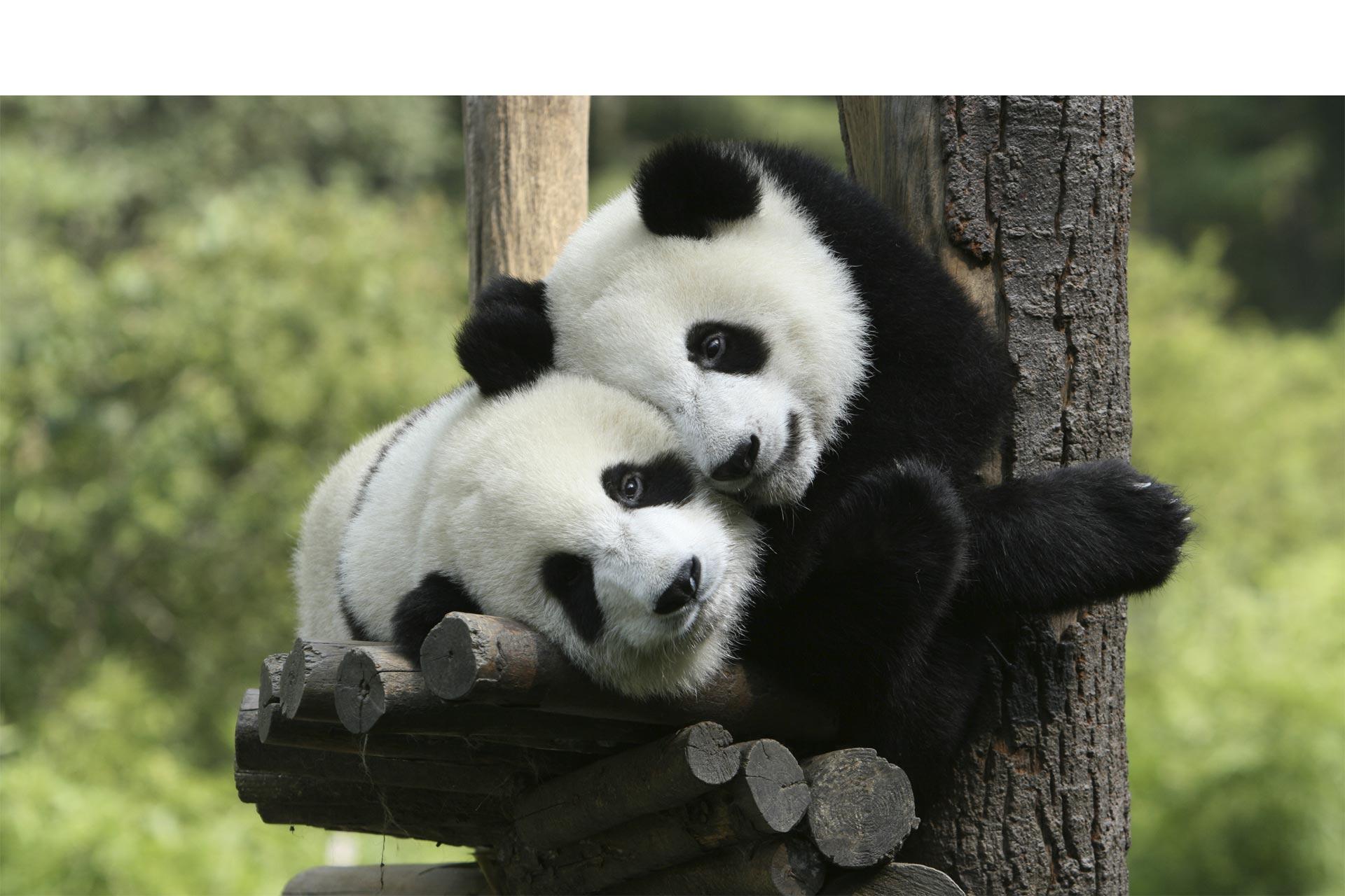 Este año se romperá un nuevo récord en nacimientos de pandas concebidos con inseminación artificial