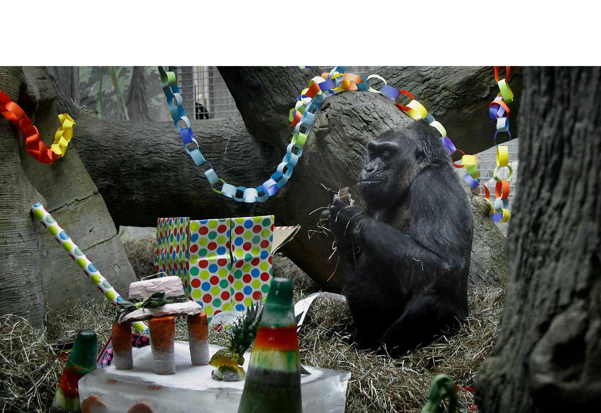 El tiempo de vida de los gorilas oscila entre 30 y 50 años, Colo superó los límites y cumplió 59 años, los cuales celebró en su hábitat