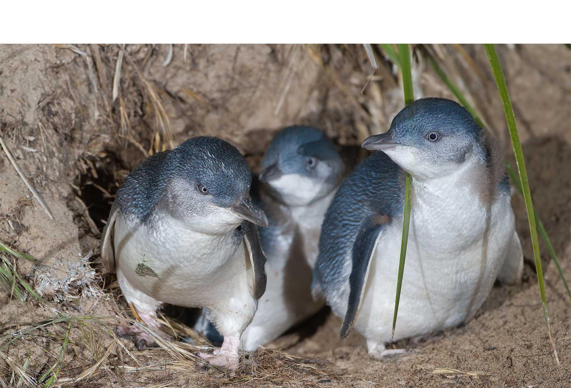 Estos pequeños animalitos viven entre Australia y Nueva Zelanda en las playas del Philip Island Nature Park y miden tan solo 33 cm