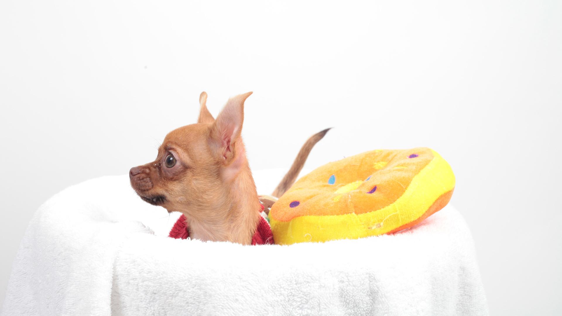 Un pequeño cachorro chihuahua superó la adversidad con la ayuda de los veterinarios de San Francisco SPCA