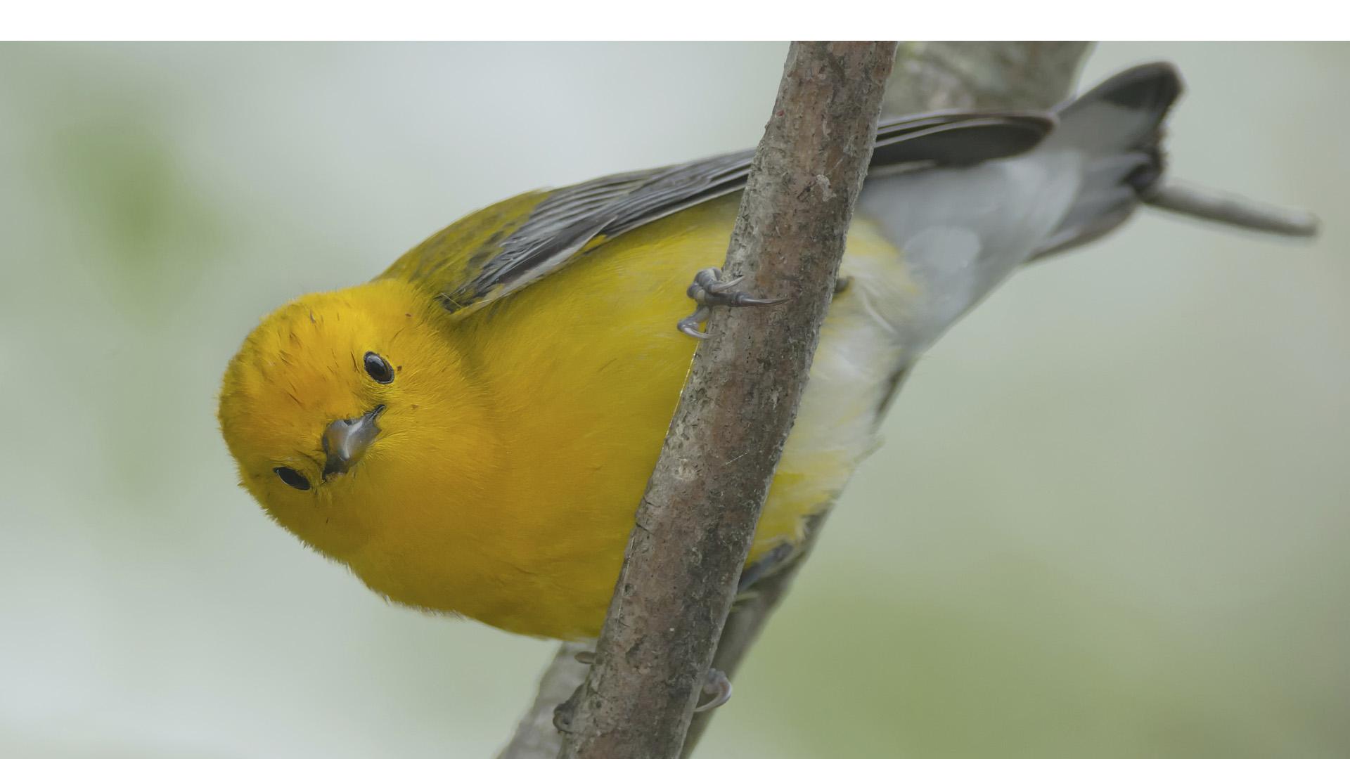 """Las aves controlan a nivel molecular el material del que están hechas sus plumas regulando la luz que refleja evitando así """"las canas"""""""