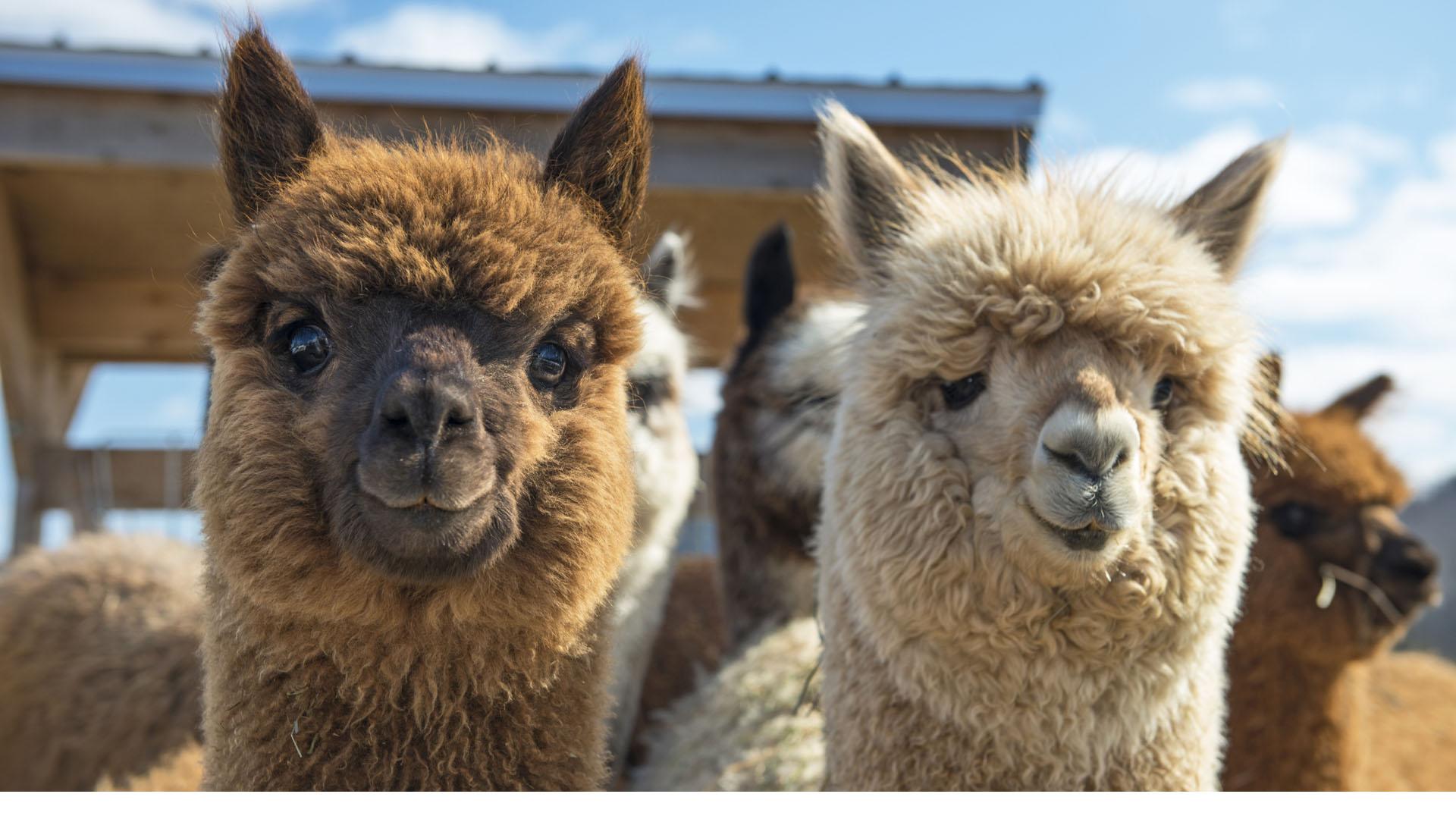 En la región de San Juan, cerca del volcán Chimborazo, son cada vez más los turistas que llegan para conocer a estos animales