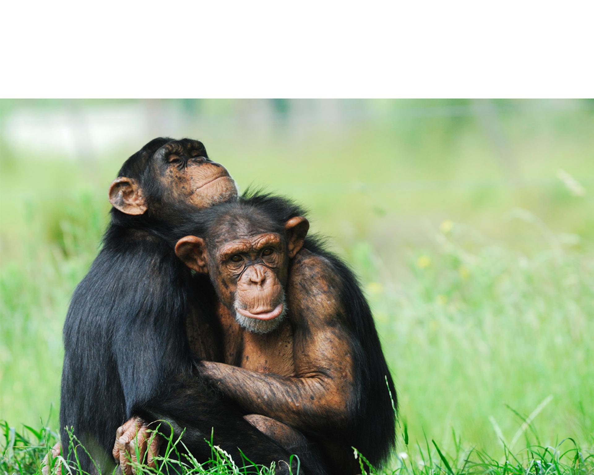 Una organización dedicada a la conservación animal rescató a un chimpancé huérfano, y este les retribuyó la ayuda