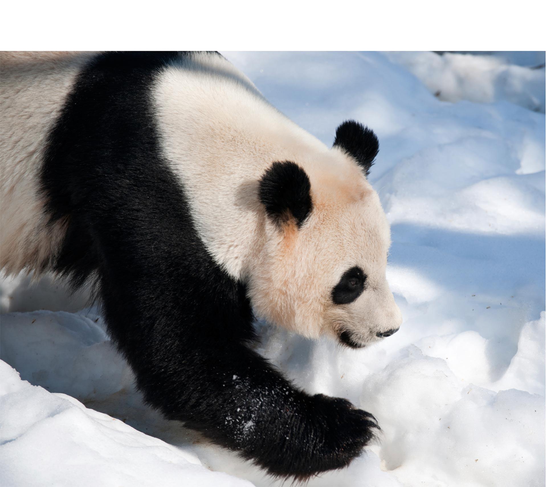 Este panda tiene la clave para pasarla bien durante los peores días del invierno. Si estás en una localidad muy fría, puedes aprender de él