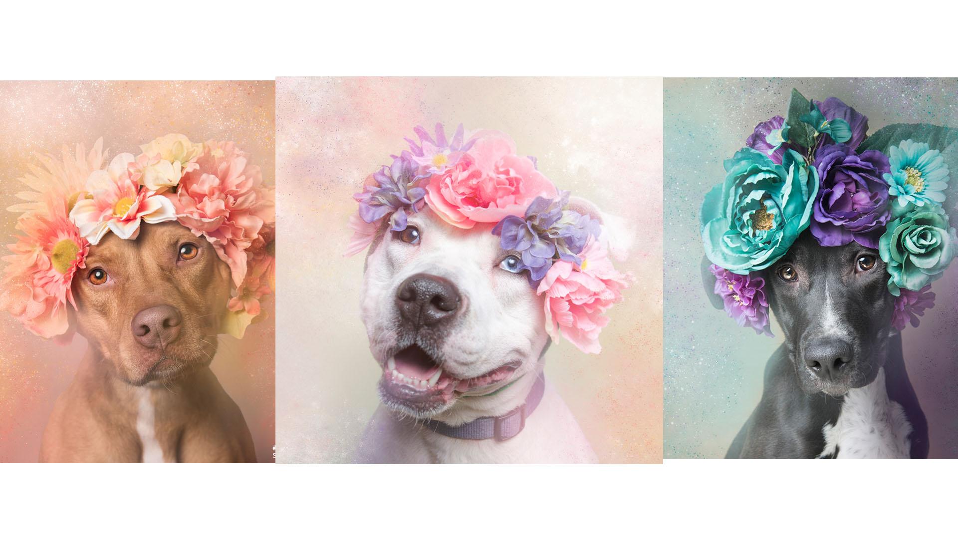 """Una fotógrafa francesa busca promover la adopción de esta raza a través de su campaña """"Pitbull Flower Power"""""""