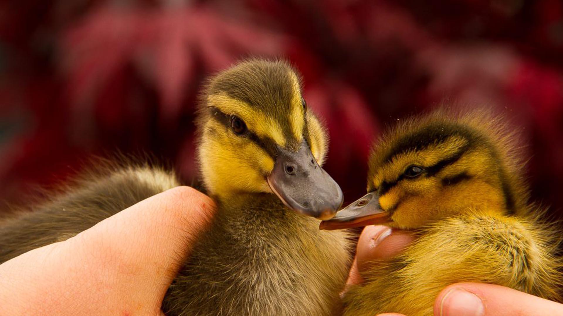 Las aves permanecerán durante unos meses bajo estricto cuidados, hasta que tengan la edad para ser puestos en el estanque