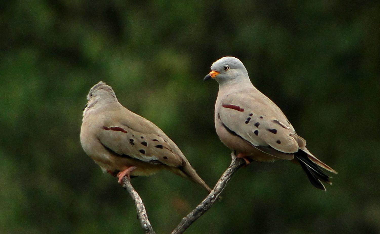 Un grupo de investigadores descubrió 12 especies de columbina ojiazul, ave brasileña que se creía extinta
