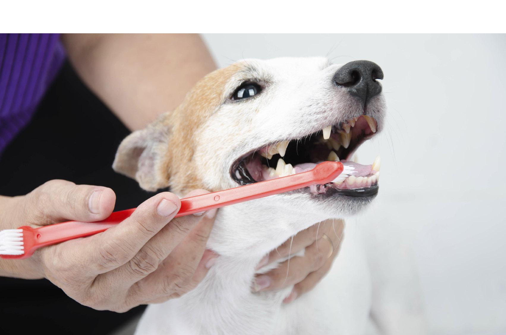 Desde un cepillado semanal hasta una buena alimentación pueden cuidar la higiene bucal de tu perro o gato