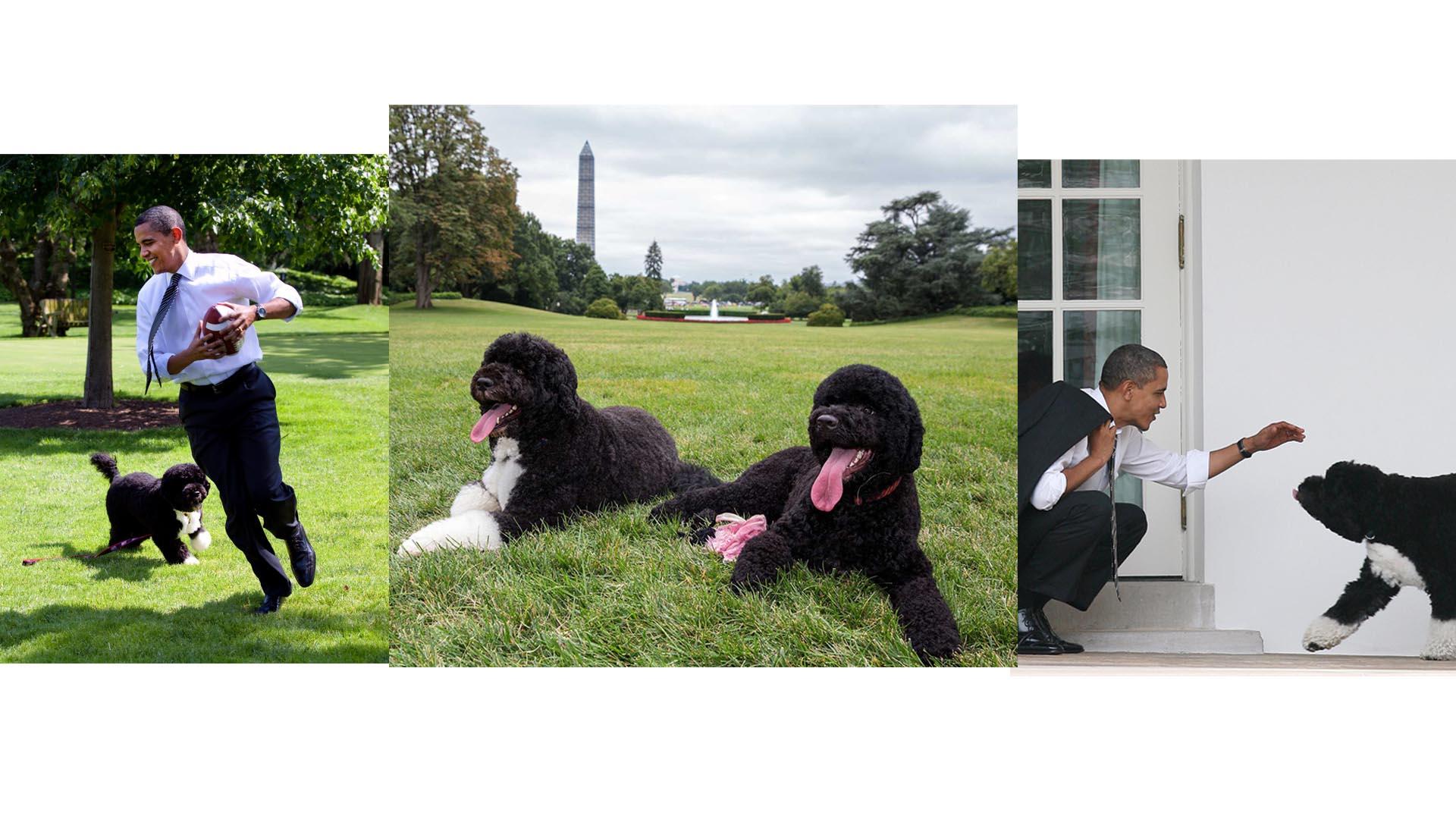 Bo y Sunny, dos perros de agua portugueses, son muy populares por ser los mejores amigos de la familia presidencial estadounidense