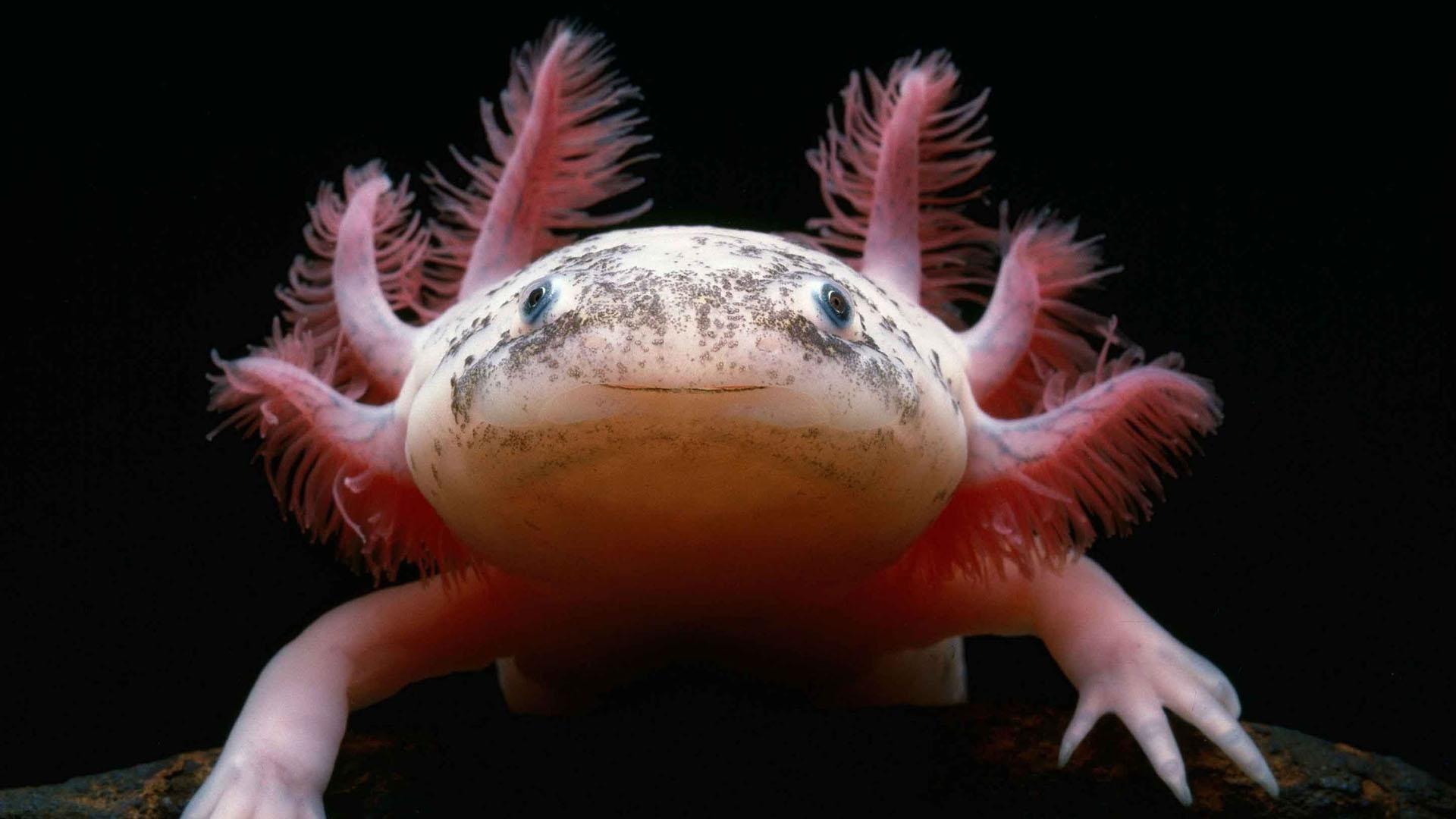 Aunque la verdadera especia es una salamandra albina, la comparación se hace porque anteriormente se creía que era la prueba de la existencia de dragones