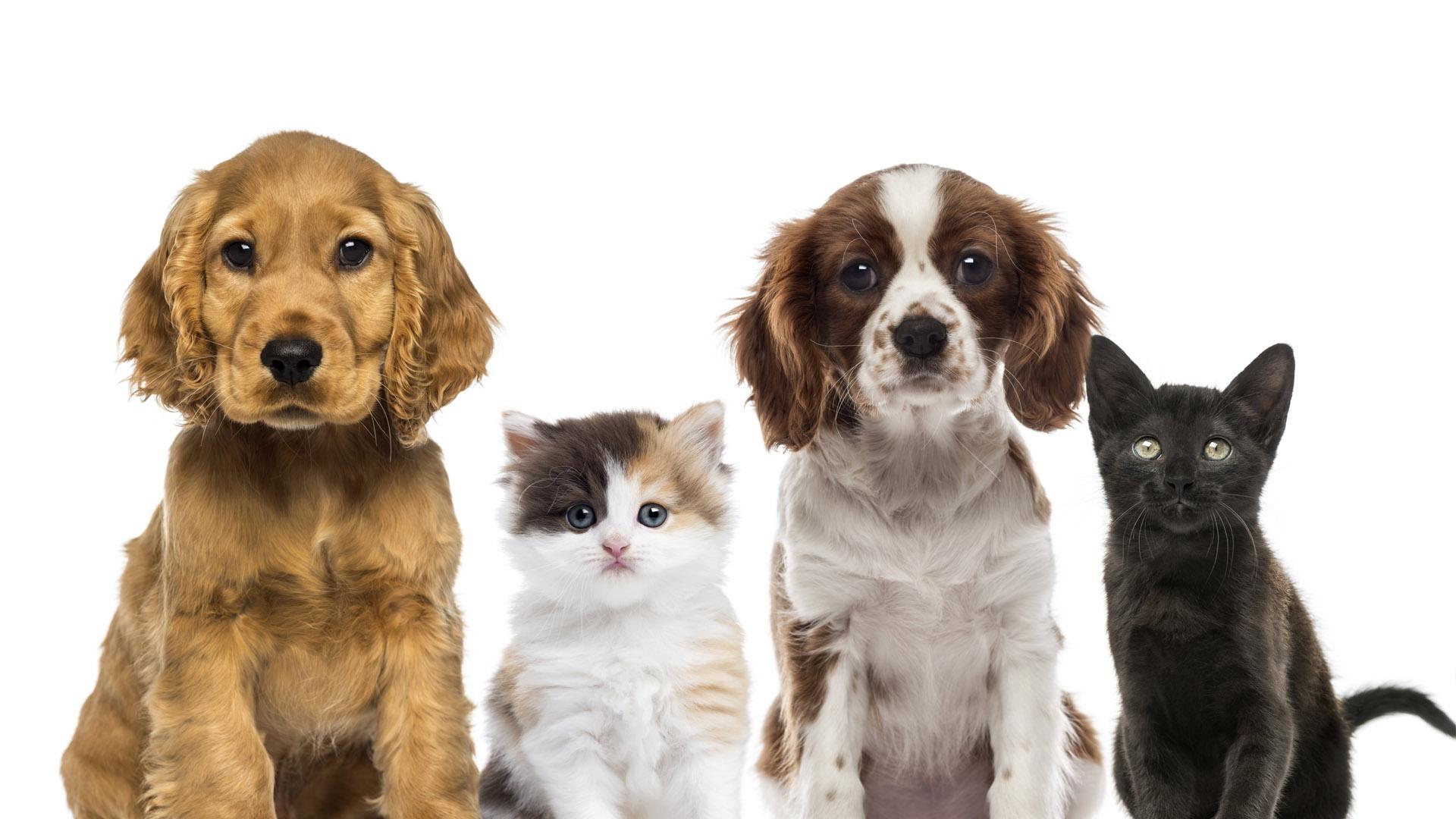 El promedio de vida de un perro es de alrededor de 12 o 13 años, mientras que los gatos viven generalmente 12 a 15 años