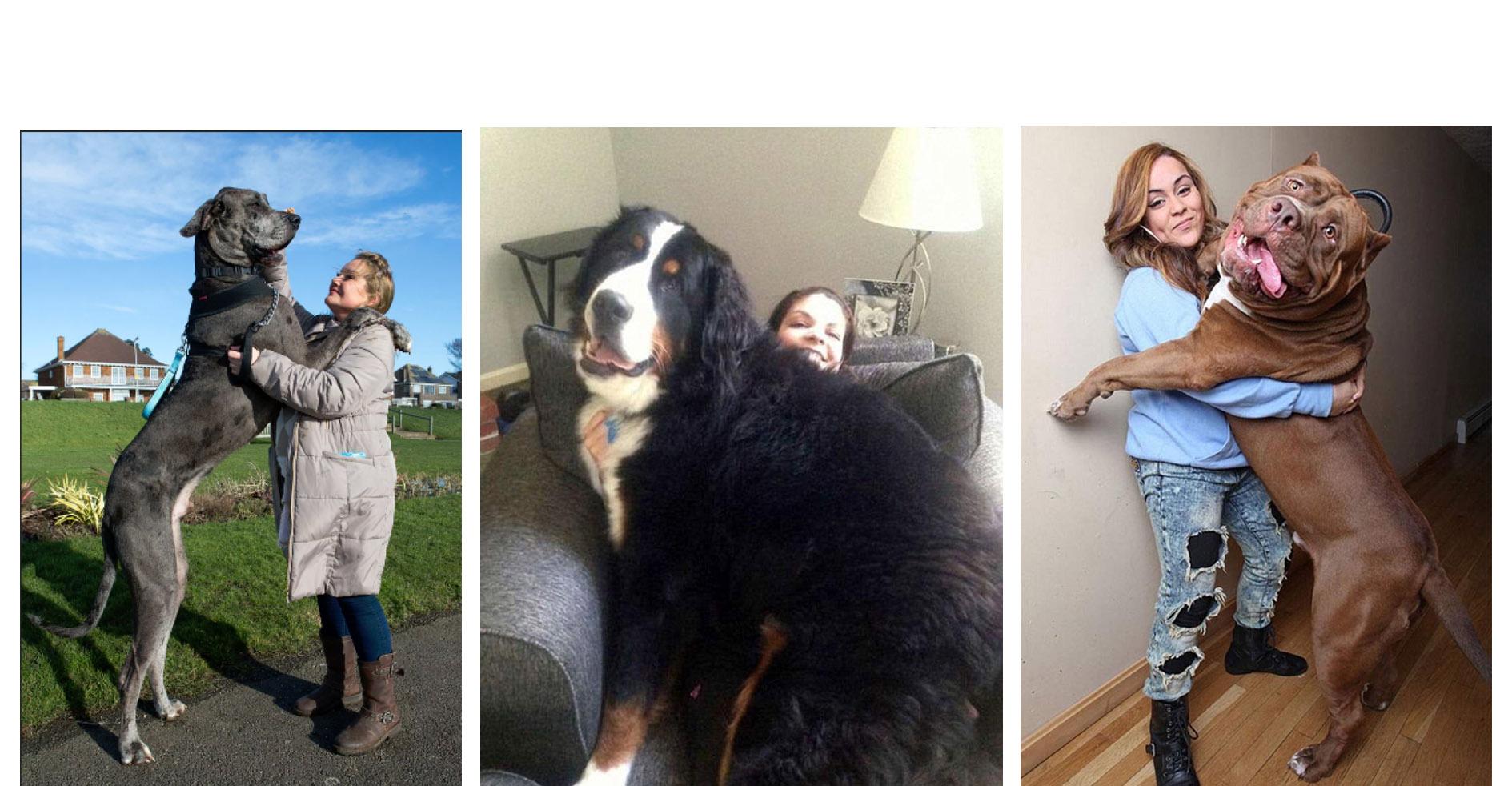 Hay canes que a pesar de su gran tamaño, pueden seguir jugando como niños a pesar de ser hasta más grandes que sus propios amos