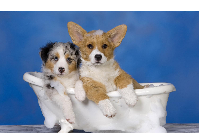 Crear un producto casero para el aseo de tu perro es sencillo y además suele ser mucho más económico que cualquier champú industrial
