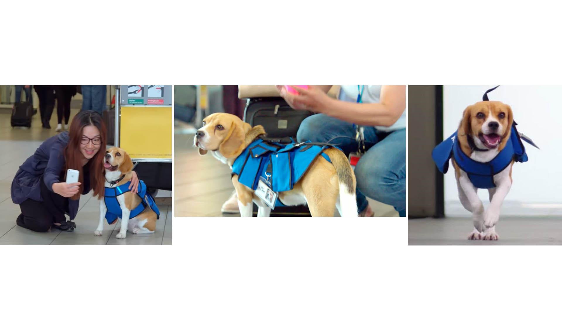 Este canino trabaja para una aerolínea en Ámsterdam, donde tiene un trabajo muy importante que requiere bastante habilidad