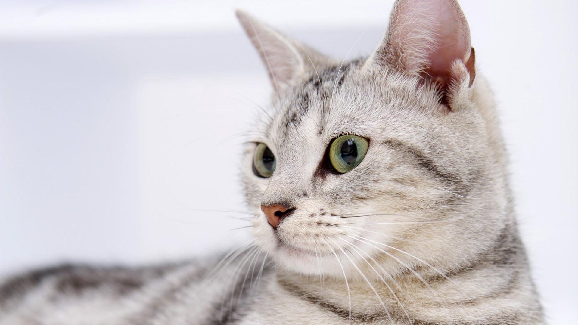 Esta enfermedad puede destruir la salud de nuestro gato