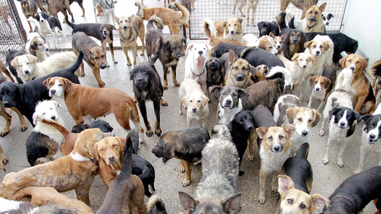 Un grupo de activista en favor de los animales pretenden en un año tratar a 4 mil perros para evitar los sacrificios