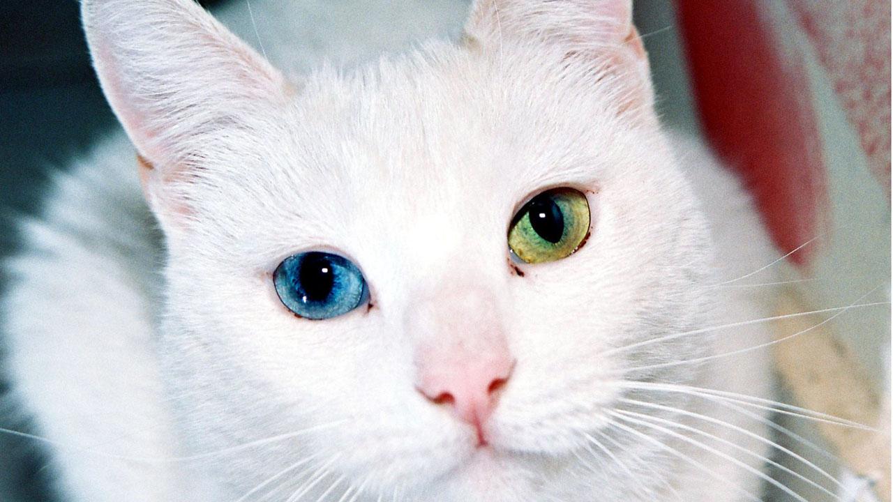 Muchos felinos tienen un ojo de cada color debido al exceso o falta de pigmentación, pero no representa un riesgo para su salud