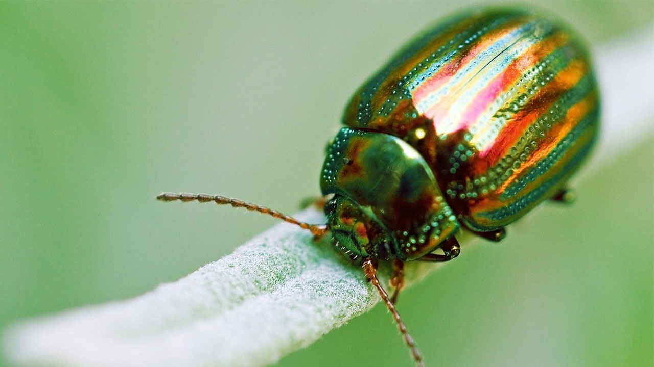 En Huwkang, Birmania, unos entómologos hallaron al insecto de tipo Cretotrichopsenius burmiticus