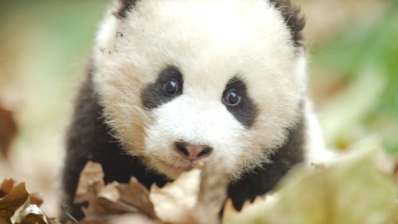 "El estudio estrenará ""Born in China"" un documental sobre una osa panda, una mona dorada y un leopardo de las nieves"