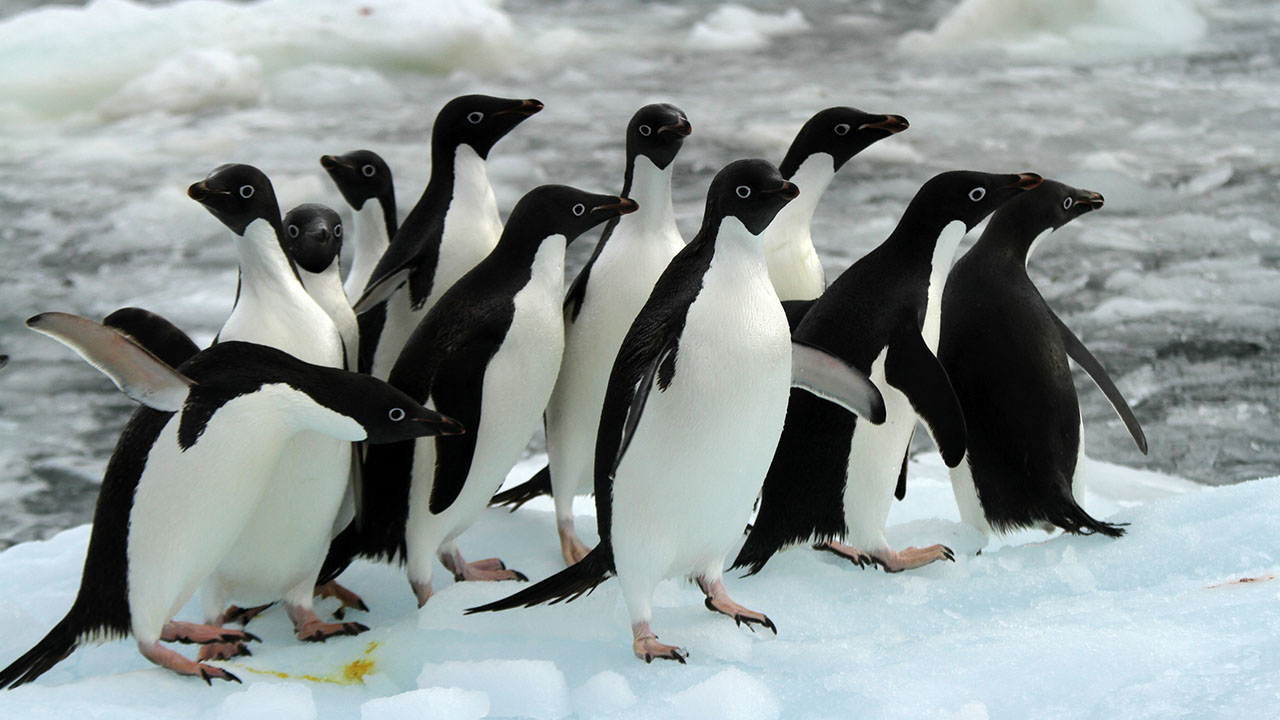 El Fondo Mundial para la Naturaleza (WWF) solicitó la apertura para así proteger a las crías de una colonia de pingüinos adelaida