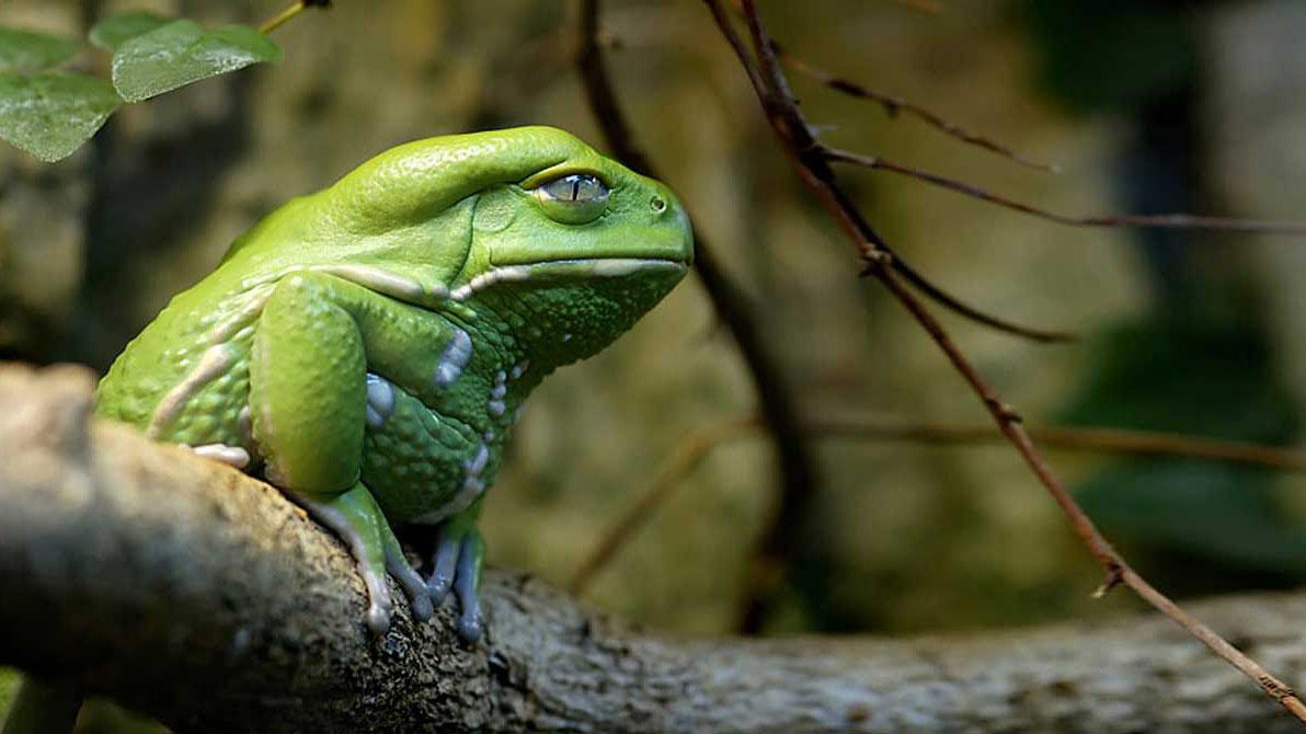 Recientemente científicos identificaron a la Beelzebufo ampinga, un ejemplar que al parecer se alimentaba de pequeños dinosaurios en la prehistoria