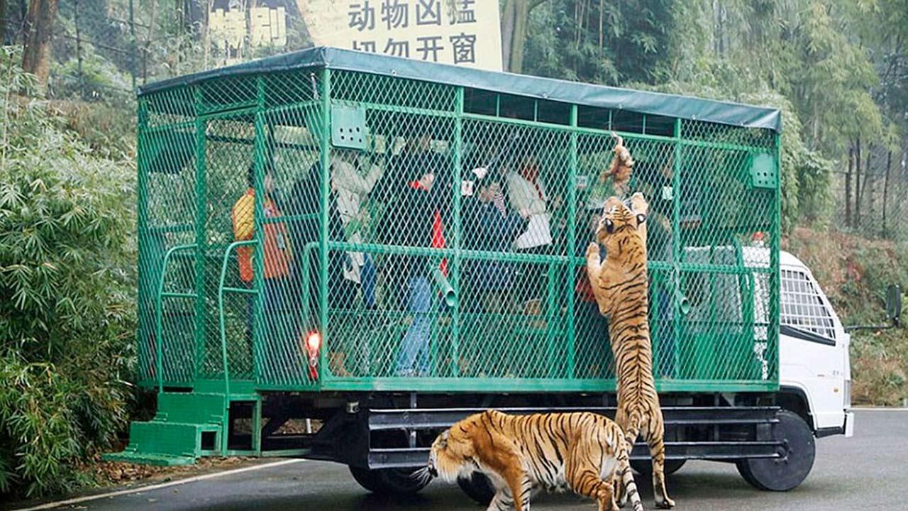 En este recinto los animales circulan libremente mientras las personas se transportan en una jaula vehículo