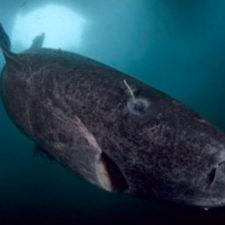 Tiburón vivo podría tener más de 500 años