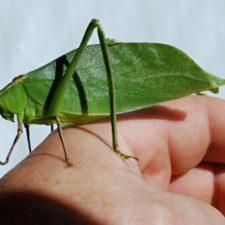 La singular forma de los insectos hojas