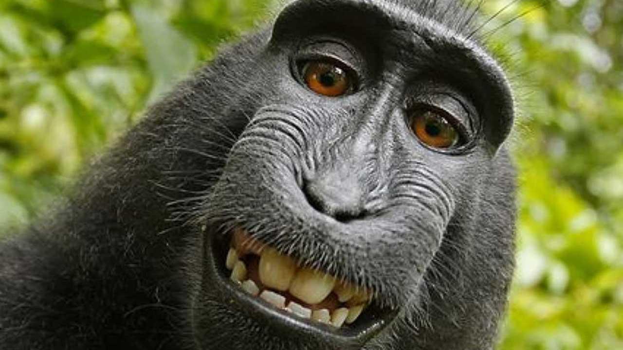 Un juzgado estadounidense determinó que los animales no pueden beneficiarse de los derechos de autor