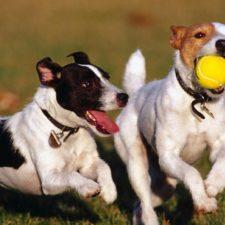 Perros pueden lanzar y jugar con pelotas sin sus dueños