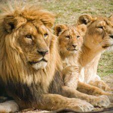 Turista fue atacado por un león en África