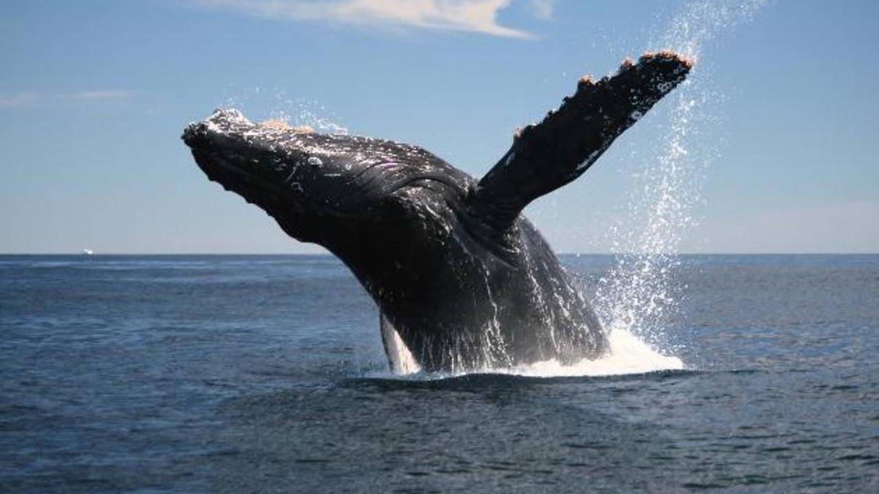 La liberación del cetáceo duró aproximadamente tres horas y contó con diversas maniobras