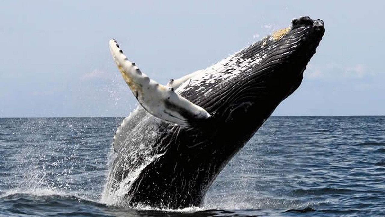 Los rescatistas utilizaron diversas técnicas con el fin de desencajar al cetáceo de la trampa
