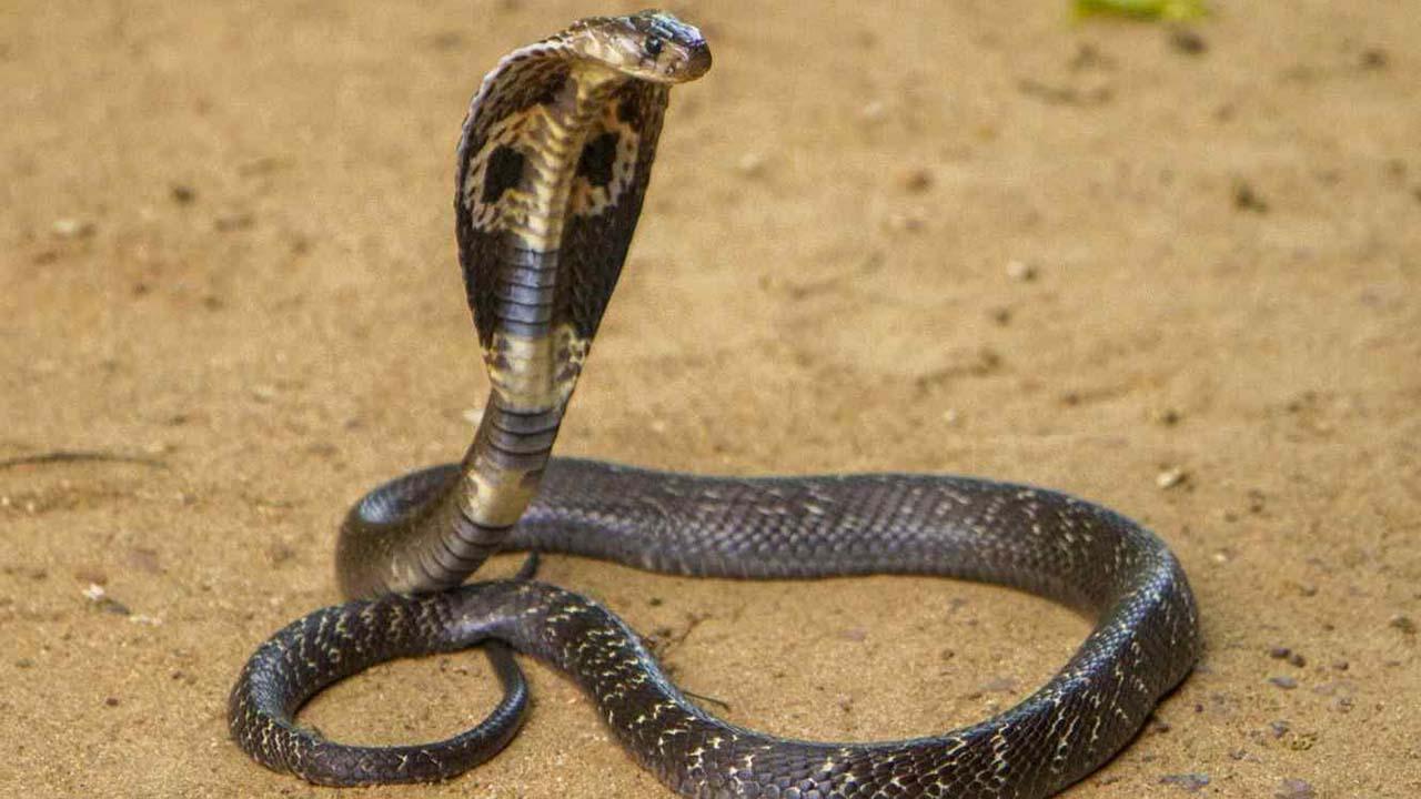 """Dos sujetos de 30 años han confesado ser """"adictos"""" a la toxina de las serpientes tras sobrevivir a varias mordeduras de las serpientes"""