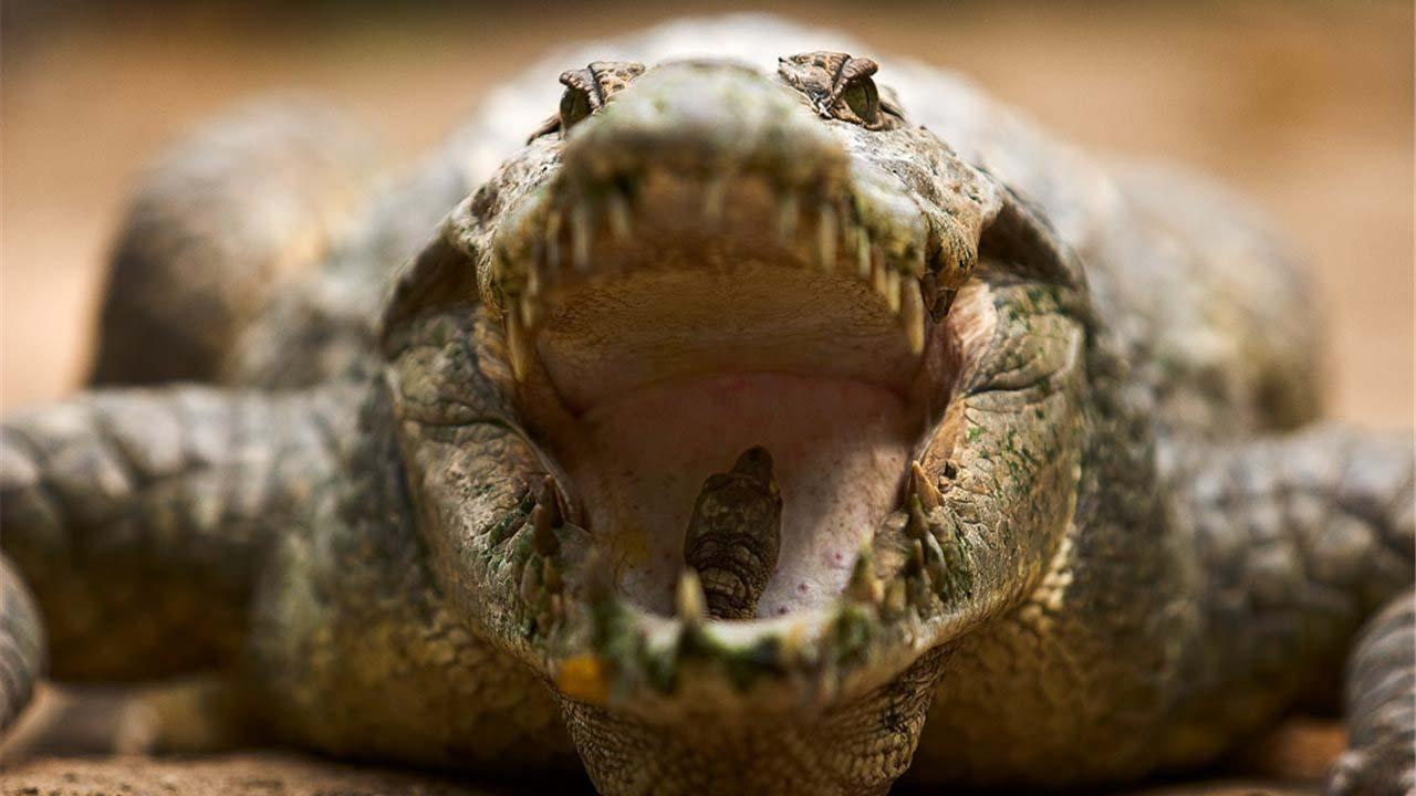 El reptil, apodado Chubbs, fue visto por última vez en 2016 en Buffalo Creek en Palmetto, Florida, Estados Unidos