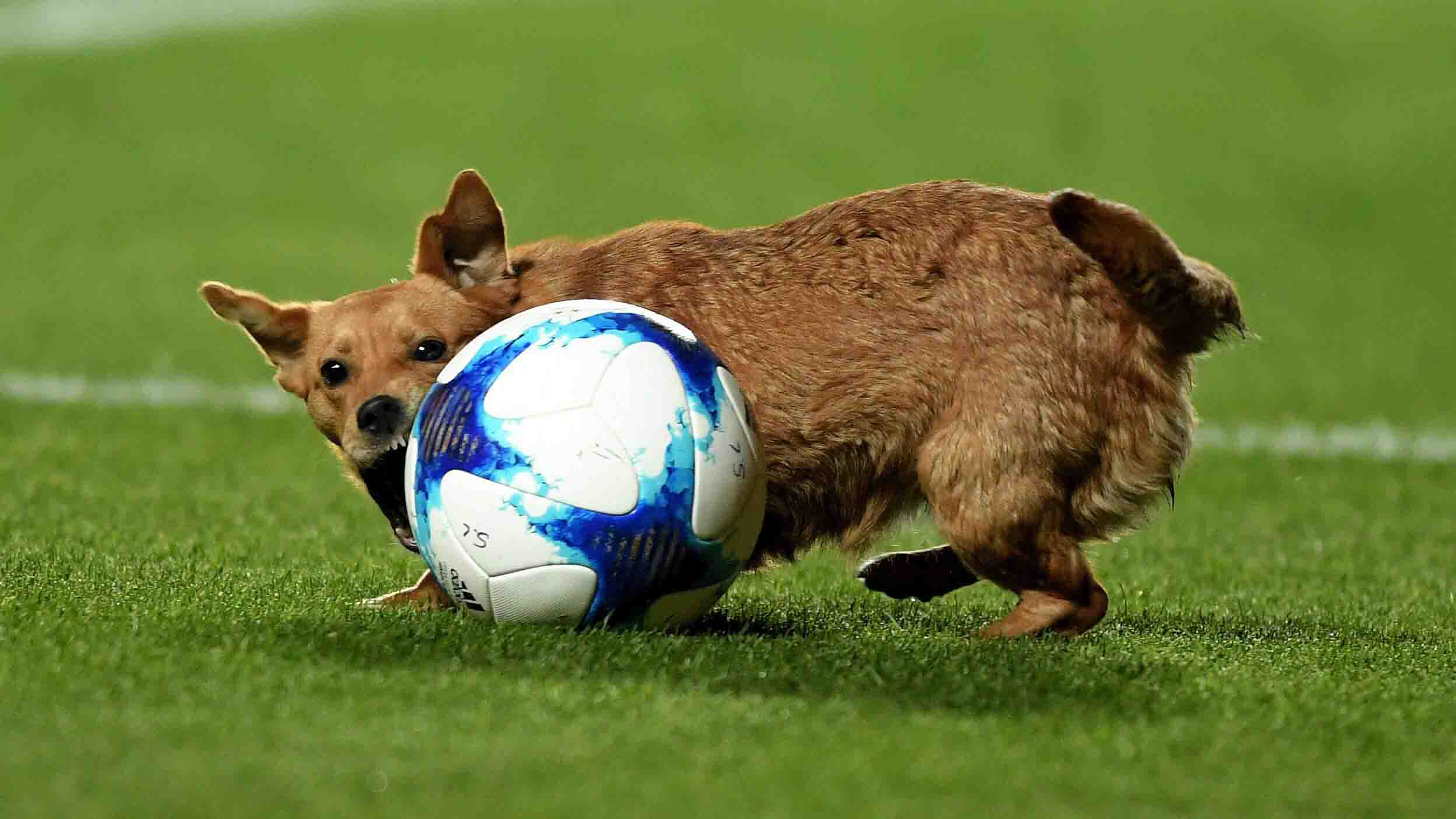 La pequeña mascota demostró sus habilidades con la pelota, usando su hocico para moverla de un lado a otro