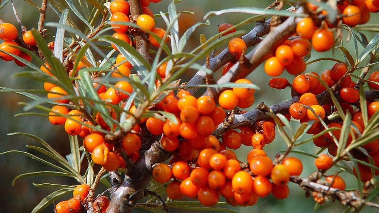 El Sumario - El cultivo de espino amarillo ha multiplicado las ganancias de los labriegos