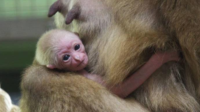 El Sumario - El pequeño ejemplar es un icono de esperanza ante la amenaza de extinción que pesa sobre su especie