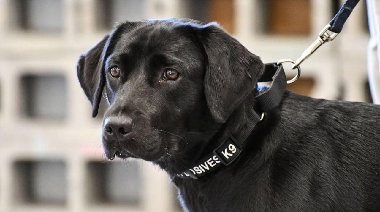 Una labradora fue expulsada del entrenamiento para la detección de explosivos por no encontrarse motivada a realizar la misión