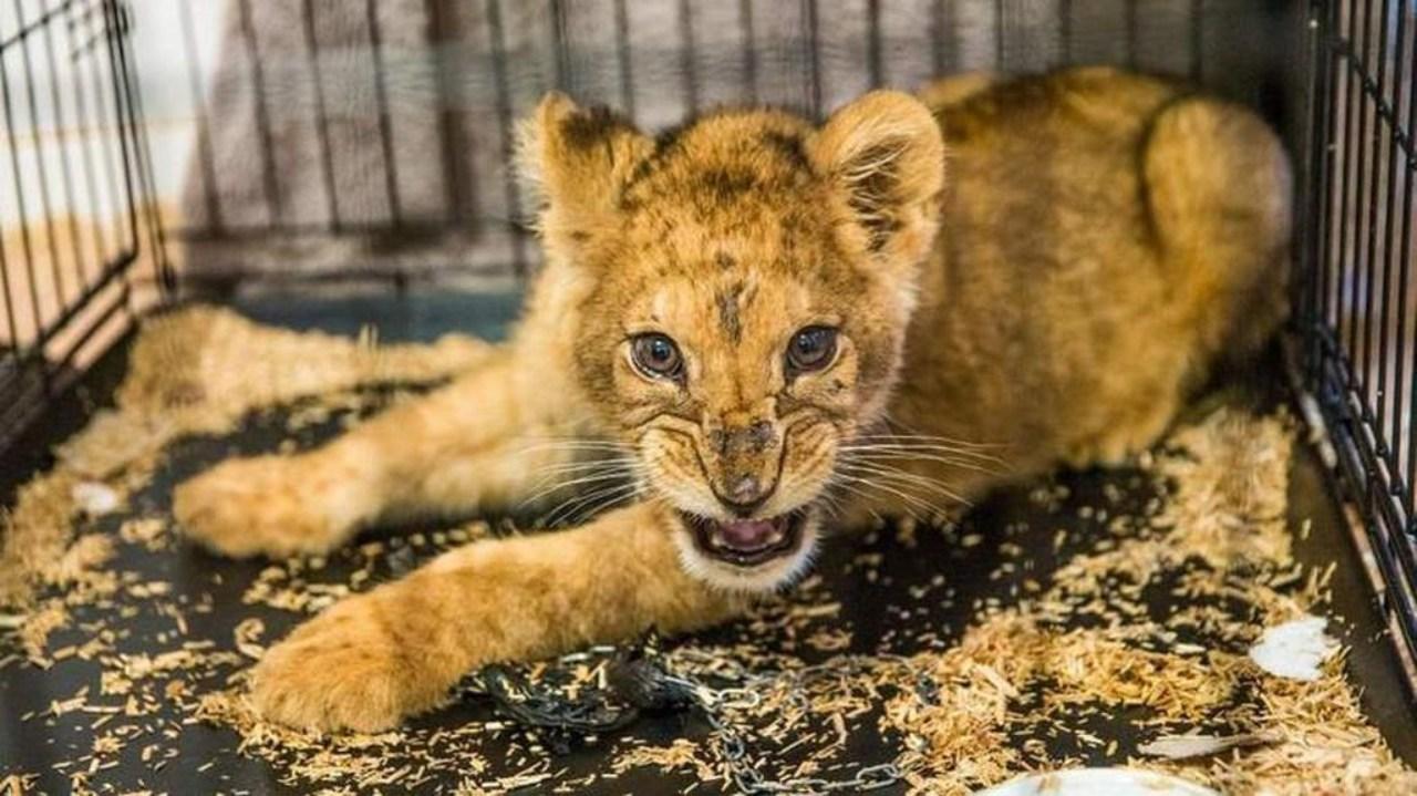 El animal fue entregado por las autoridades francesas a una asociación protectora de animales para ser cuidado