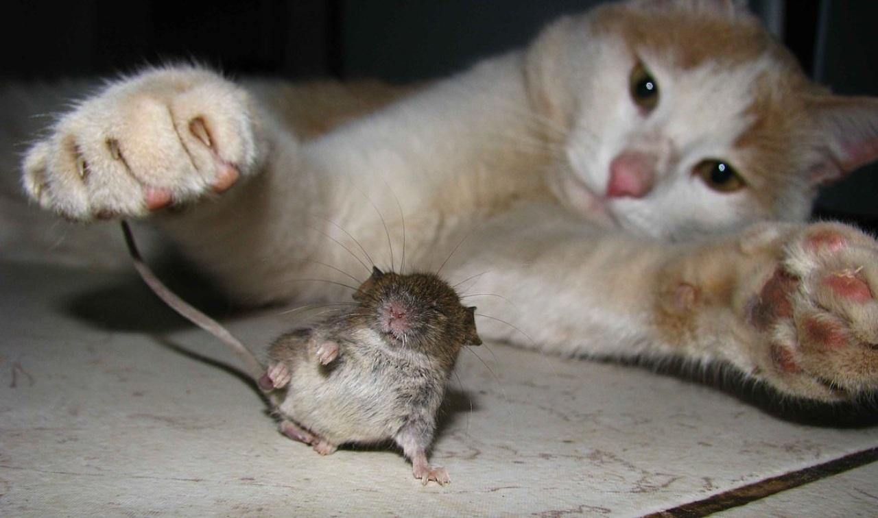 Investigadores de Estados Unidos realizaron un monitoreo por 79 días para evaluar el comportamiento de los roedores ante la amenaza
