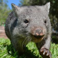 Monstruos marsupiales de más de una tonelada poblaron Australia