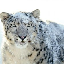Video muestra a un leopardo de las nieves en China
