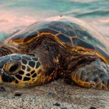ONG uruguaya liberará a dos tortugas que fueron intoxicadas por ingerir plástico