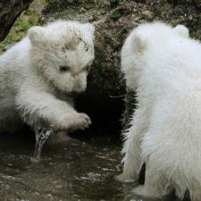 Bebé de oso polar evoluciona bien en zoológico en Berlín