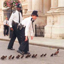 Una familia de patos paralizó el tráfico en una calle de Colombia