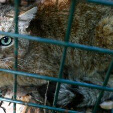 Aparece nueva especie entre un gato y un zorro
